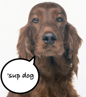 irish-setter-sup-dog