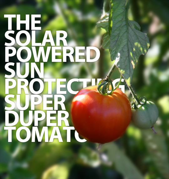 The sun-protecting tomato