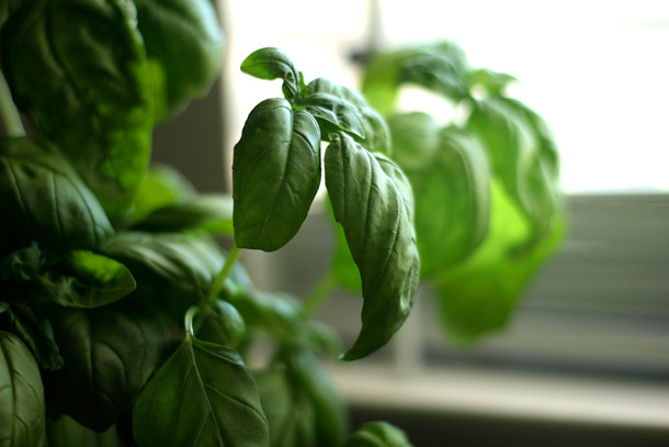 Basil is my favorite herb