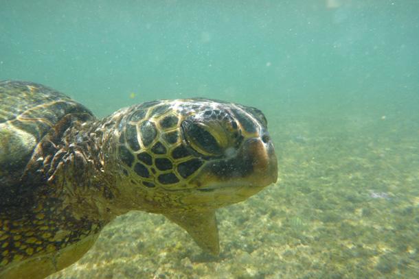 Honu, Kauai, Aug. 15, 2013
