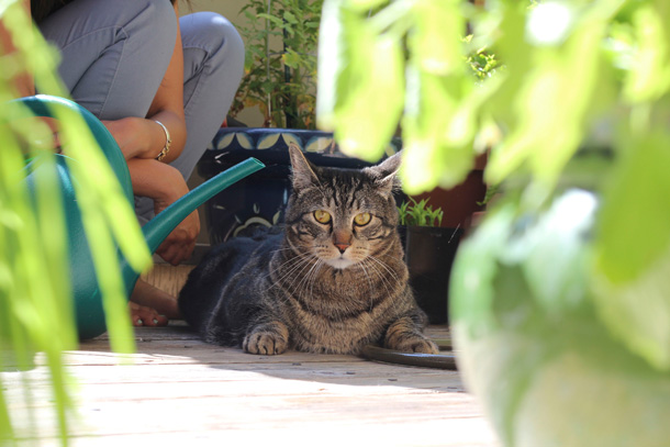Farmer Tabby in the cat garden