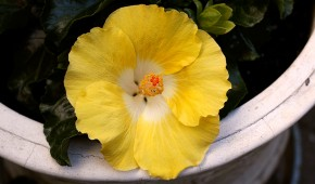Yellow Hibiscus (1)