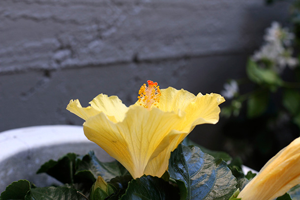 Yellow Hibiscus (4)
