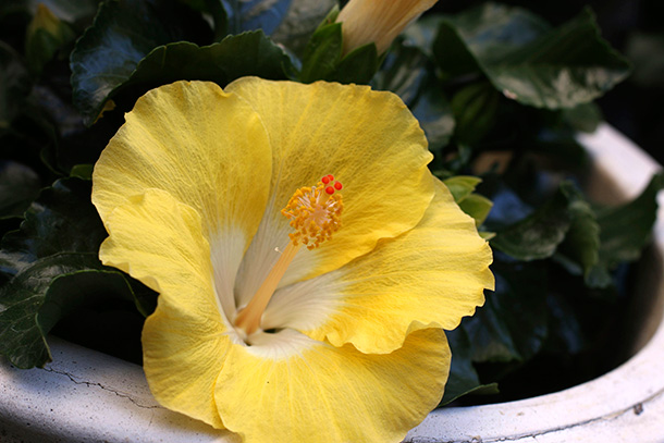 Yellow Hibiscus (5)