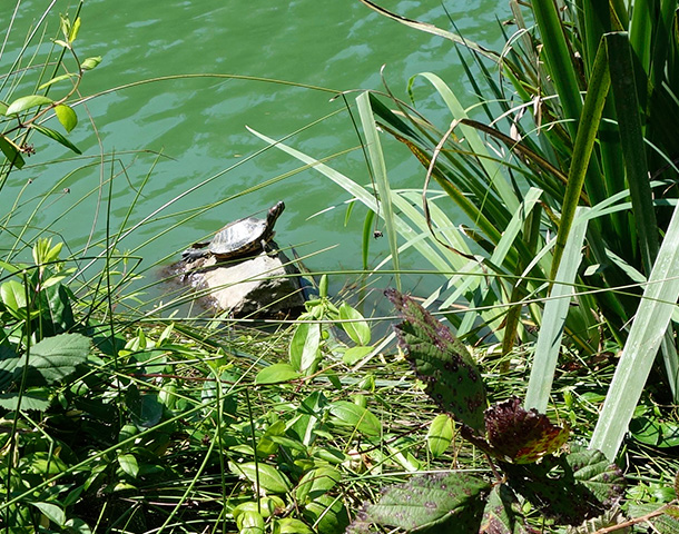 A turtle chillin' on Stow Lake in San Francisco's Golden Gate Park