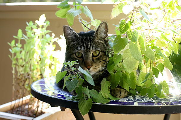 Tabs with his catnip plant (2)