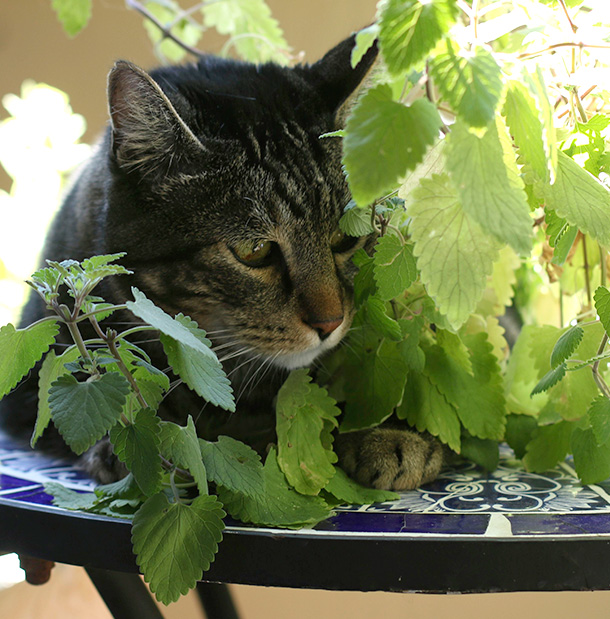 Tabs with his catnip plant (4)