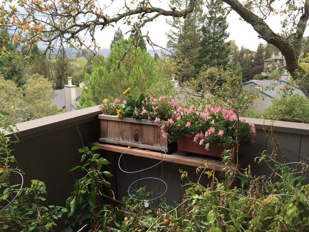 Our little deck garden has seen better days