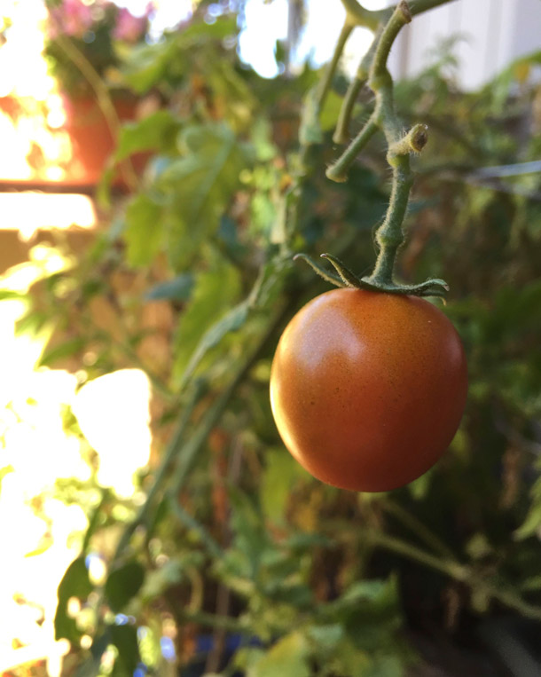 novato-cherry-tomato-fall