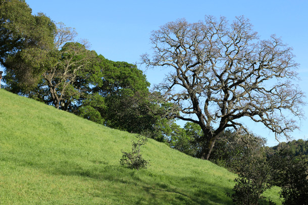 novato-hill-oak-tree