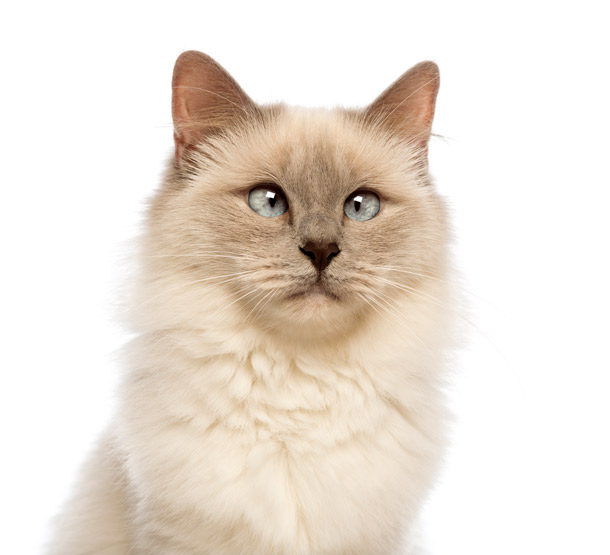 Cross-eyed ragdoll cat