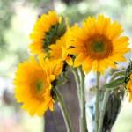 012516-sunflowers-monday-poll