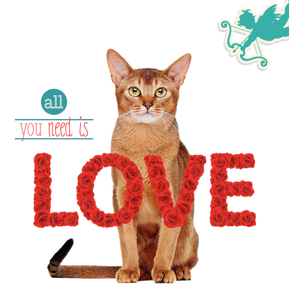 abyssinian-cat-valentine