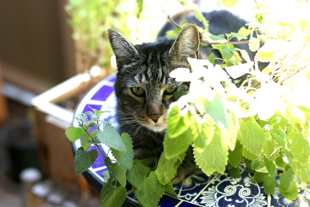tabs-catnip