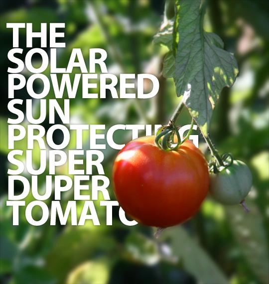 The sun-protecting tomato