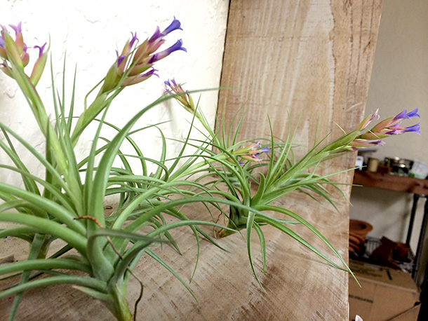 Blooming Stricta