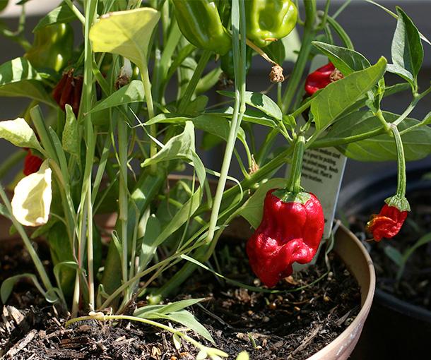 Heirloom Peppers (3)