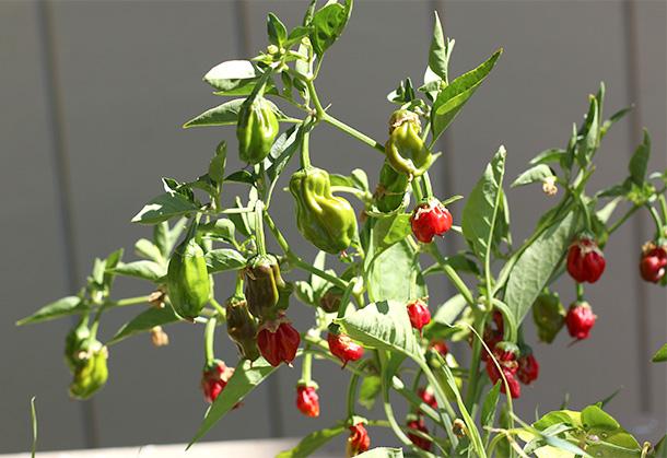 Heirloom Peppers (5)