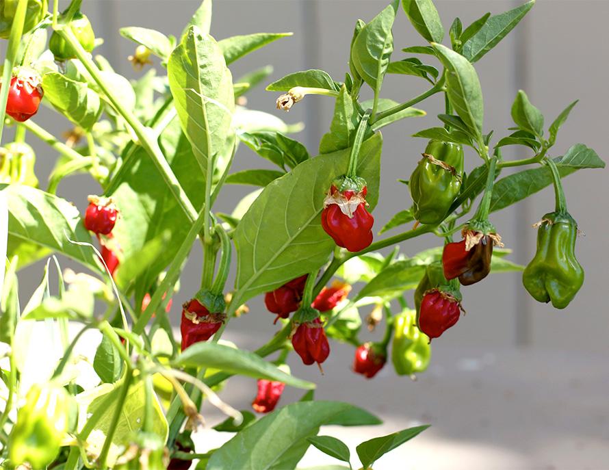 Heirloom Peppers (1)