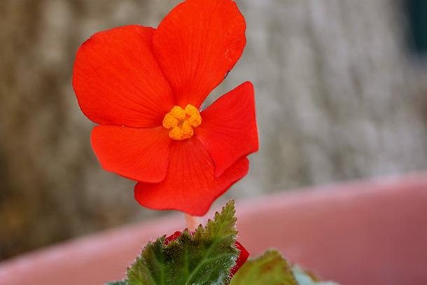 Reddish orange flower from my neighbor's front yard