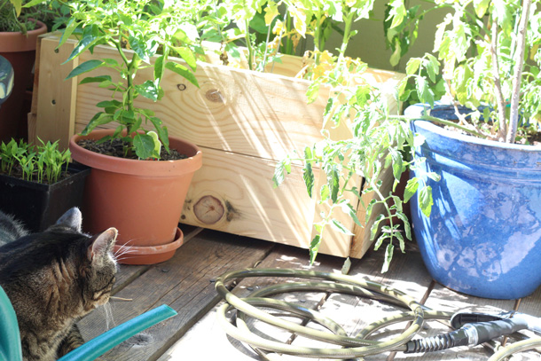 Farmer Tabby in the cat garden