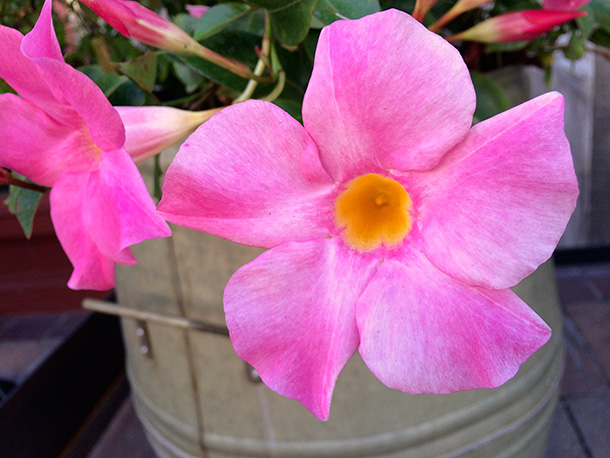 Hot Pink Flowers
