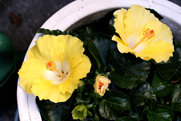 Yellow Hibiscus (3)