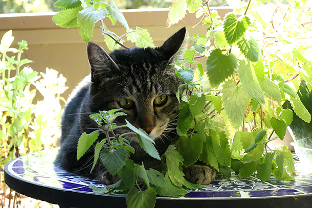 Tabs with his catnip plant (3)