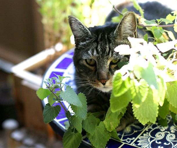 Tabs with his catnip plant (6)