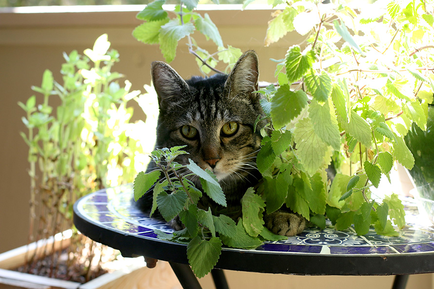 Tabs with his catnip plant (1)