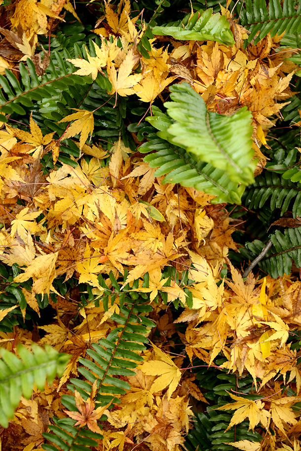 Japanese Maple and Fern Leaves