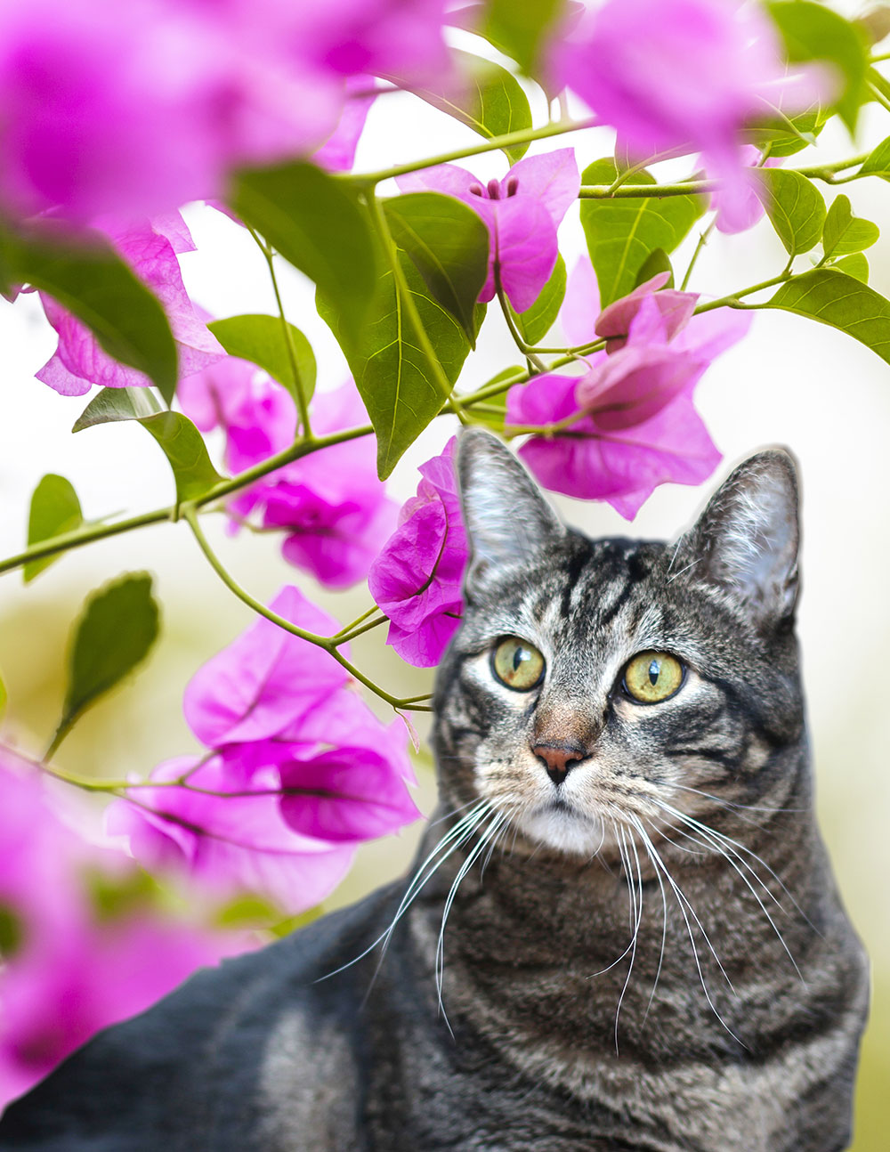 tabs-cat-bougainvillea