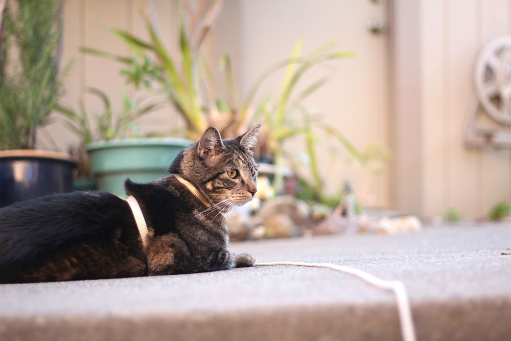 tabs-cat-lounging-leash-spring-2016