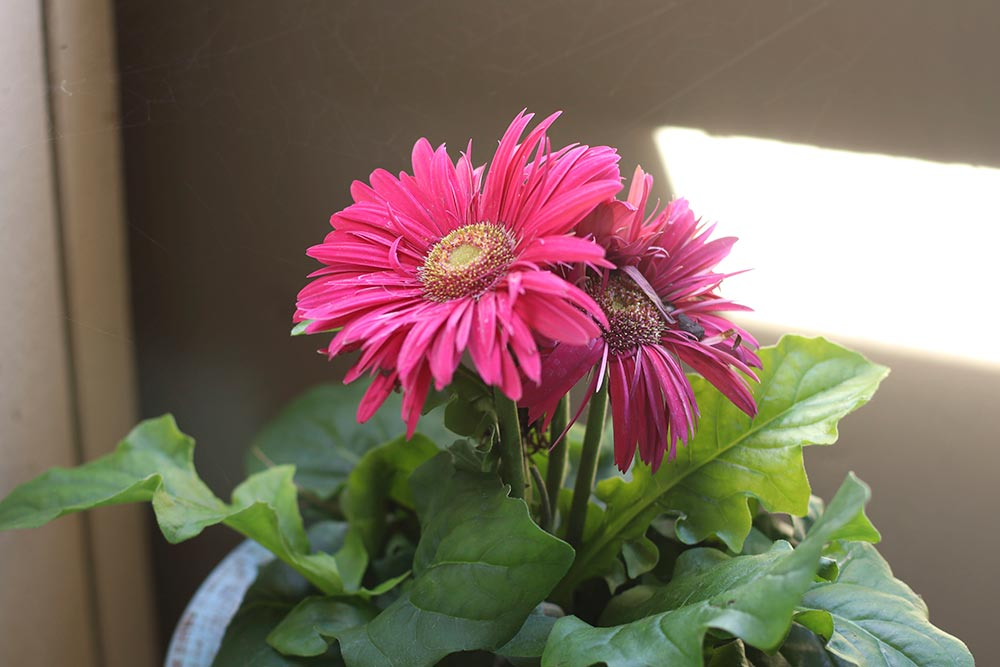 lady sanctuary gerbera daisy