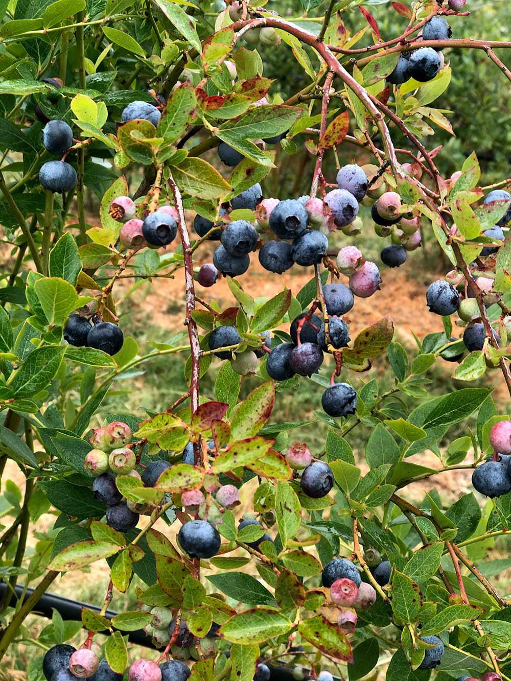 duckworth fermes bleuets sur vigne