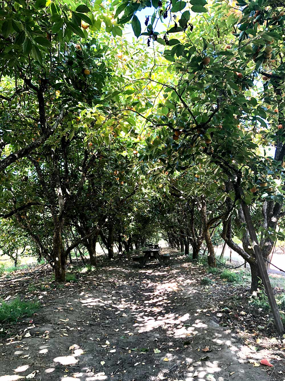 persimmon grove gabriel farm