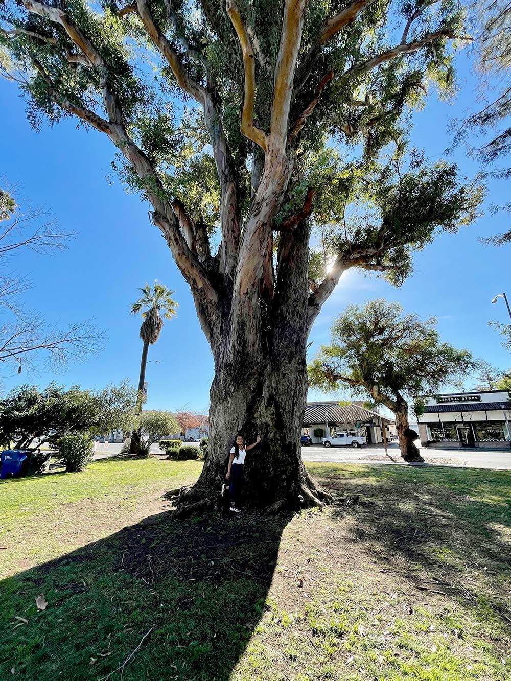 k sonoma big tree