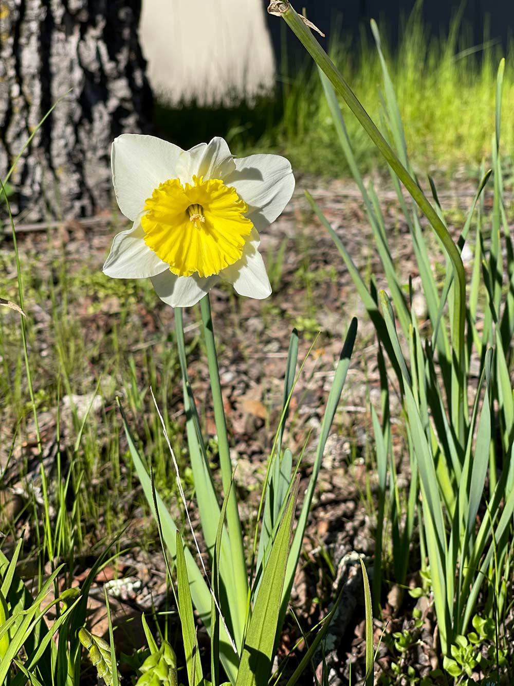 daffodil spring 2021