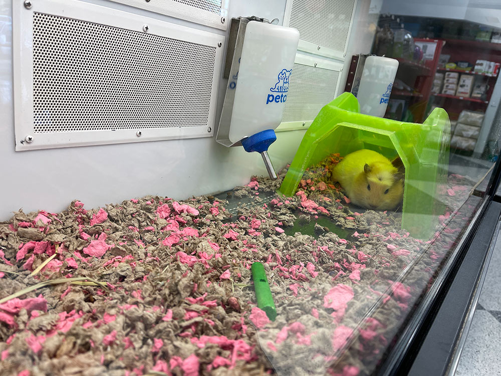 peachy-the-guinea-pig